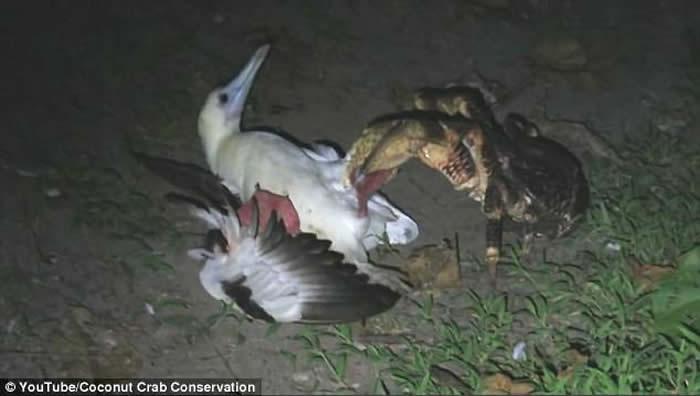 印度洋查戈斯群岛目击到椰子蟹爬到巢穴捕食海鸟