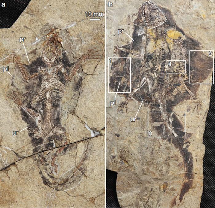 具翼膜和毛发印痕的晚侏罗早期阿霍氏树贼兽(毛方园供图)
