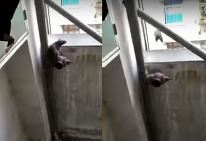 老鼠被逼到高楼角落直接跳下去
