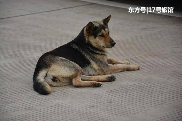 就是它,抢走日本运动员国旗的中华田园犬(俗称:土狗)。