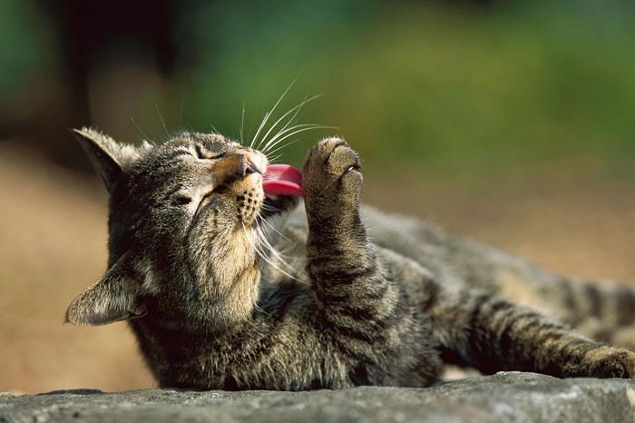 猫在理毛时会把唾液散布到全身上下。科学家在一项研究中发现,每公克猫毛里含有将近100万个活的细菌。 PHOTOGRAPH BY MITSUAKI IWAGO,