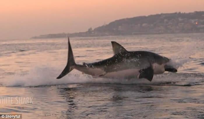 大白鲨跃出南非莫塞尔湾海面噬食猎物