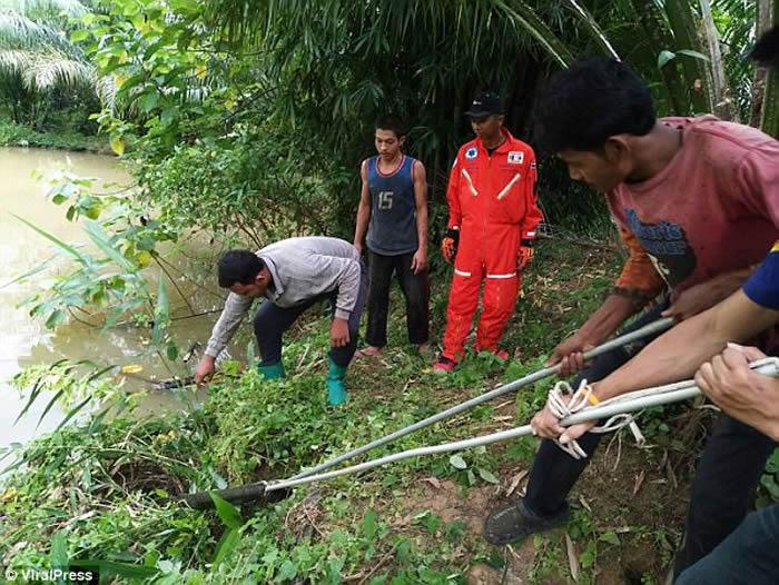泰国喀比府棕榈地中发现眼镜王蛇大战蟒蛇 以后者中毒身亡告终