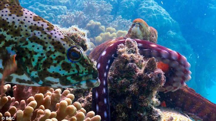 BBC在澳洲大堡礁拍摄纪录片时首次发现石斑鱼与八爪鱼合作捕捉躲藏在珊瑚内的猎物