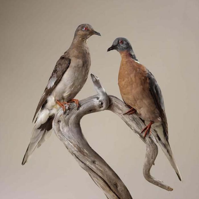 旅鸽新研究表明:群体数大且稳定的物种也会在环境突变后面临灭绝危险