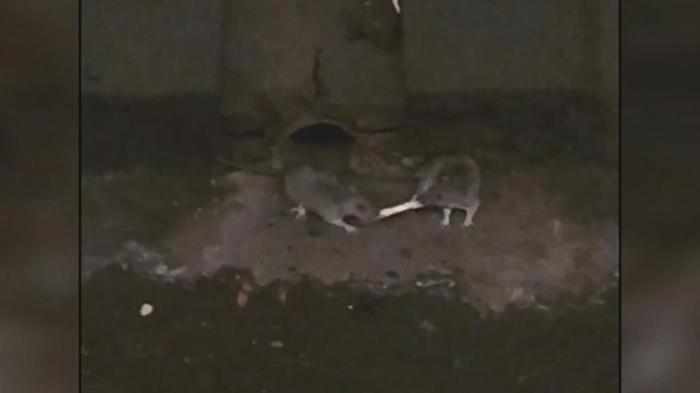 美国纽约地铁两只老鼠在路轨上争吃一条薯条