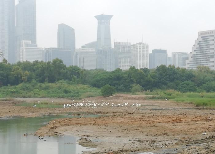 迁徙必经地 极危黑脸琵鹭现身深圳红树林