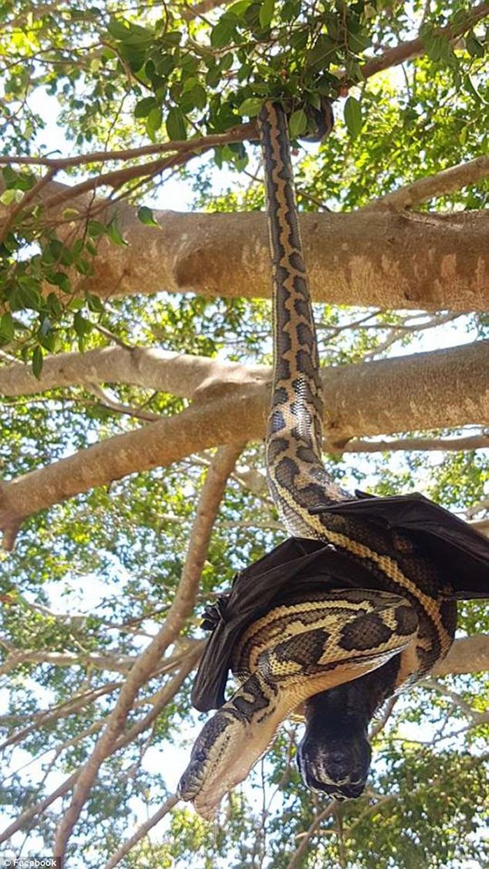 澳洲布里斯班地毡蟒尝试吃掉已经死去的蝙蝠