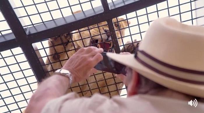 """澳大利亚莫纳托动物园""""狮子360""""新尝试:把游客关在笼里 狮子在外面"""
