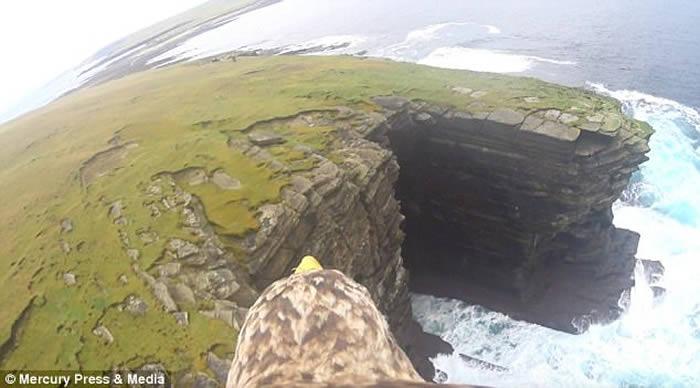 英国苏格兰白尾海雕身披戴带有摄录机的特制背心翱翔天际