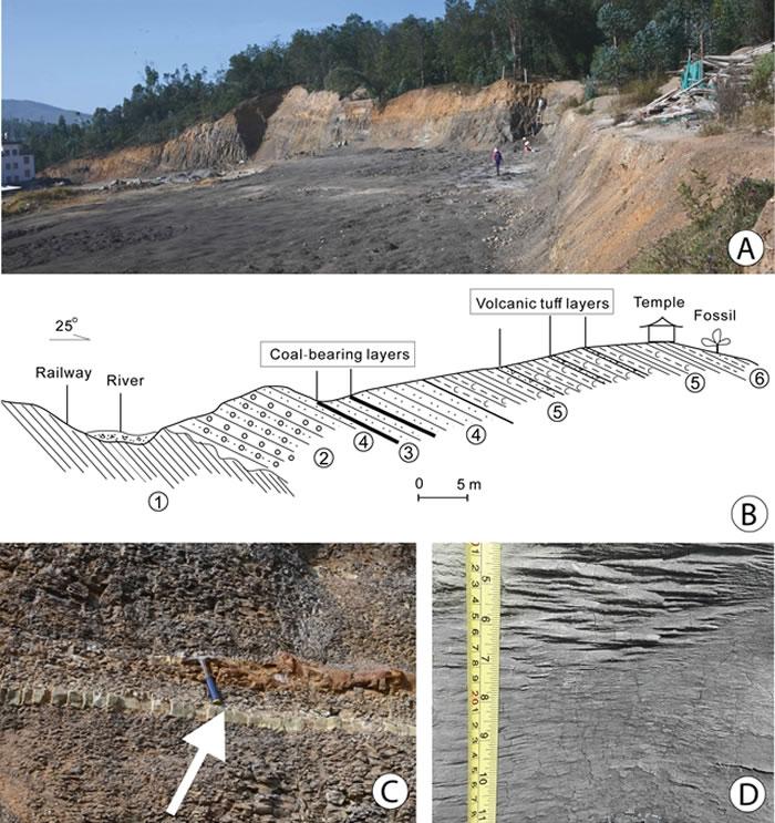 云南省南华县吕合镇化石点地层概况(C中的箭头所指层位为测年所用的火山凝灰岩,与之临近的上下层位均产丰富的植物化石)