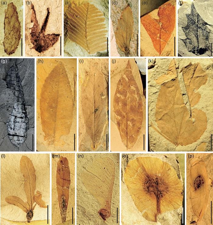 吕合植物群中保存精美、种类丰富的植物化石,体现了物种及植被类型的现代化。