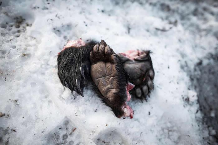 猎人以又鬼刀用力切割时,能一刀将动物的肉与肌腱切断。猎人先把熊掌切下来,才会将熊尸剥皮。 PHOTOGRAPH BY JAVIER CORSO