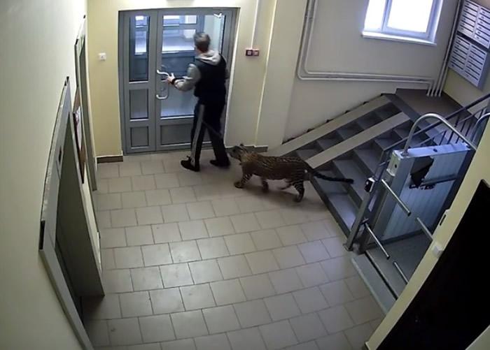"""""""战斗民族"""":俄罗斯男子竟然带同饲养的豹在儿童游乐场内散步"""