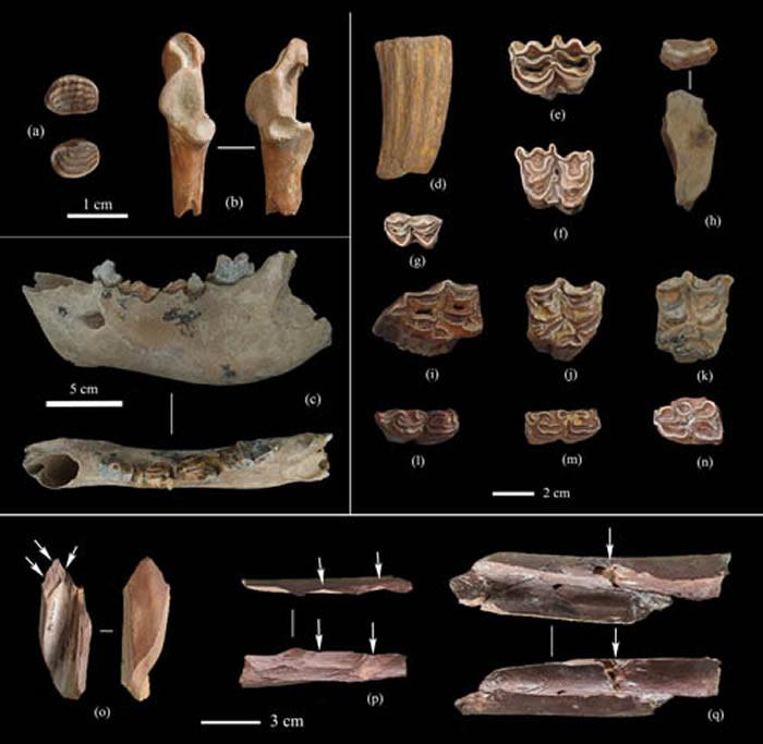 飞梁遗址出土部分动物化石及砍砸痕迹 (裴树文供图)