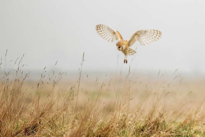 一只仓鸮于英国诺福克飞翔。 PHOTOGRAPH BY SARAH DARNELL, SCIENCE FACTION/CORBIS