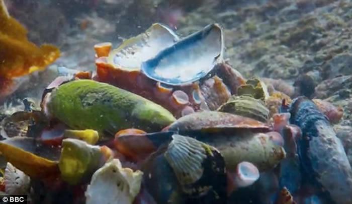 英国广播公司纪录片捕捉到宝贵一幕:八爪鱼装成贝壳成功骗过鲨鱼