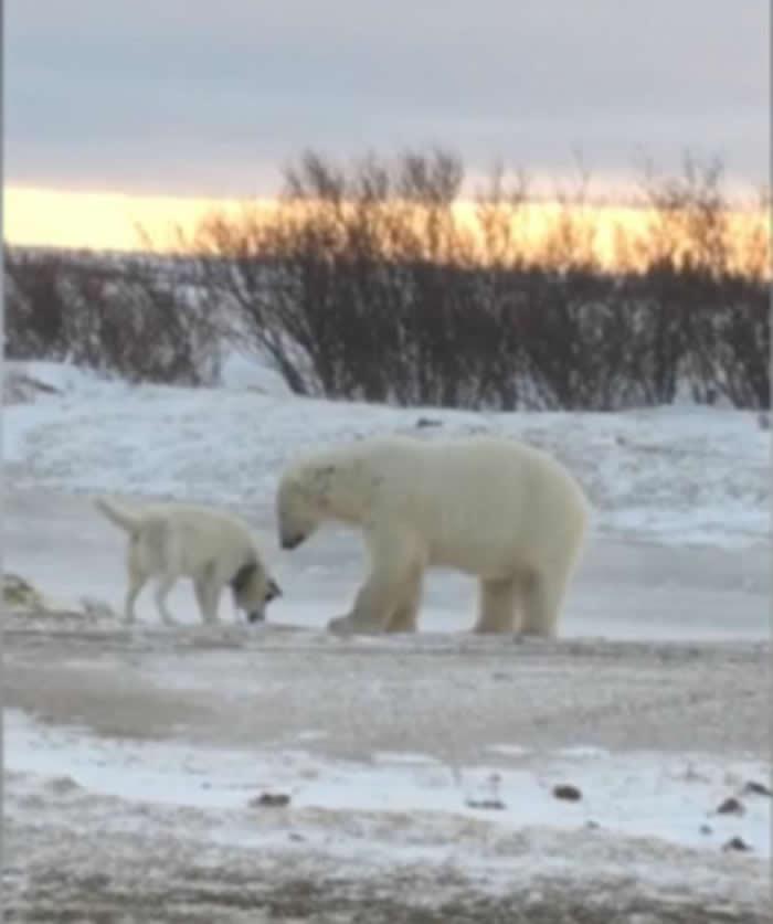 加拿大雪地罕见一幕
