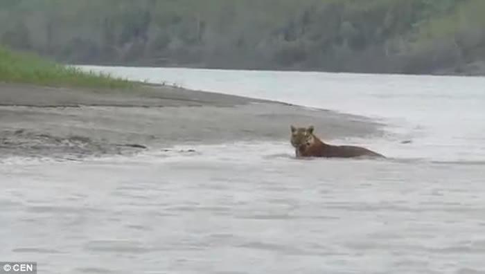 印度西孟加拉邦国家公园游客拍下罕见一幕:怀孕孟加拉虎河中浸浴