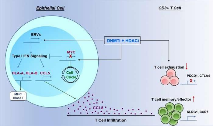 《细胞》杂志:2种药物联合疗法可能会增强肺癌患者对免疫疗法的反应