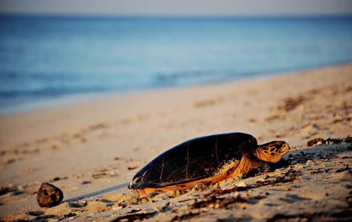 贤三(Kenzo)是罕见幸运脱困海龟之一