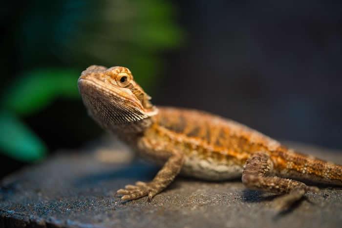 在较暖温度中孵育的髭颊蜥(bearded dragon)成年后学习速度较慢。 PHOTOGRAPH BY JOEL SARTORE, NATIONAL GEOG