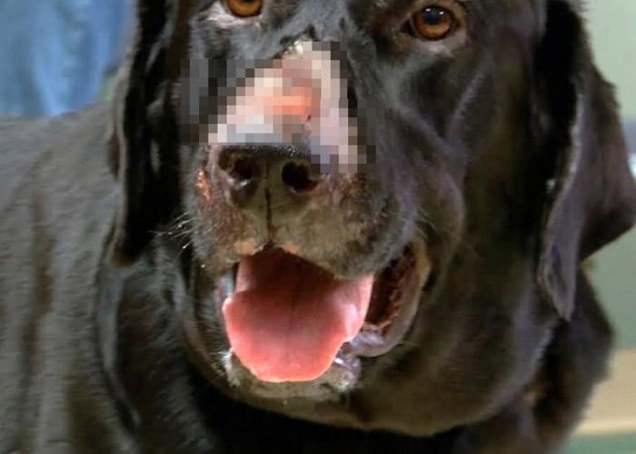 病菌会腐蚀狗只的皮肉。