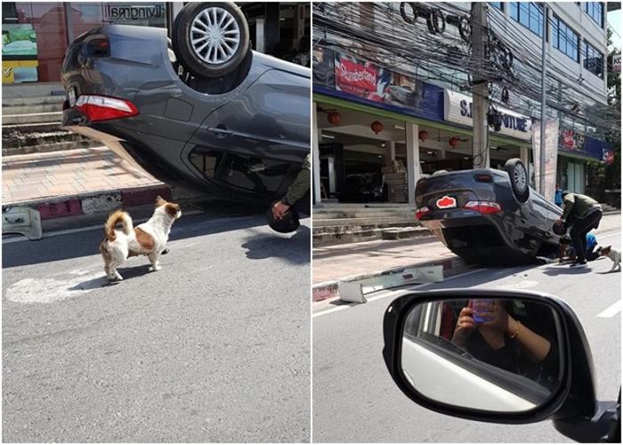 泰国司机避狗致翻车 小狗守护车前自责