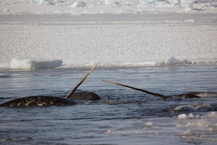 """东格陵兰独角鲸会在逃避威胁时表现出""""僵住""""和""""逃离""""反应"""