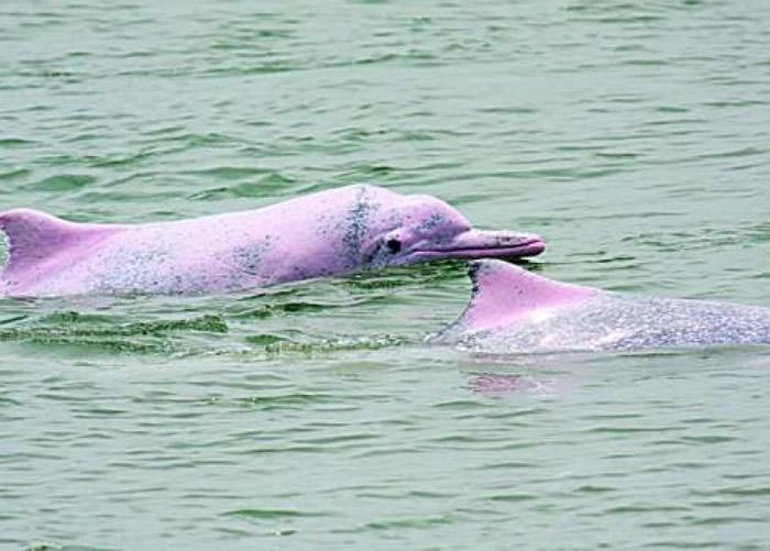 随着海洋生态改善,白海豚再次出现在汕头湾海域。(资料图片)
