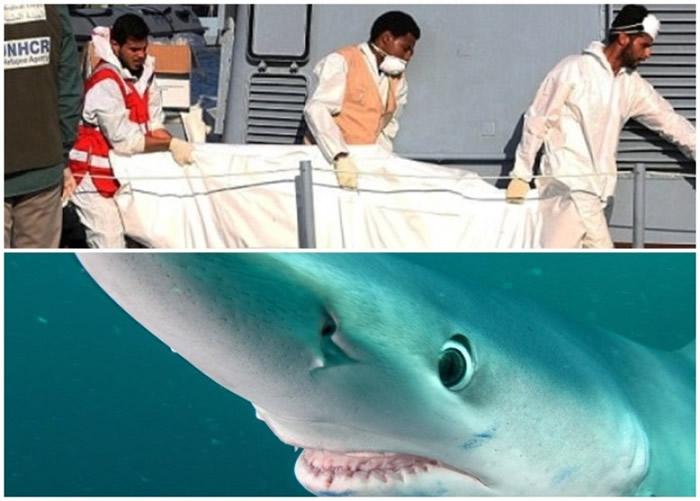 有难民的尸体被大青鲨(下图)吃掉。