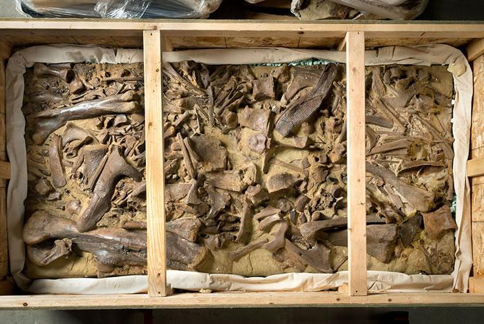 美国丹佛自然科学博物馆收获最大规模恐龙化石捐赠