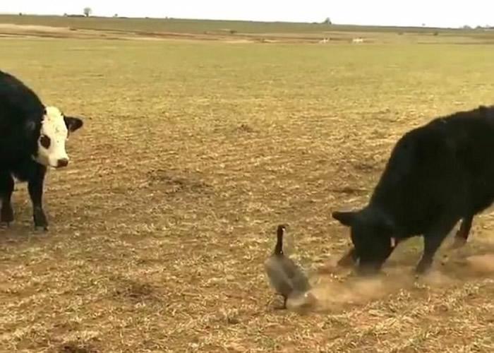 第二回合:黑牛(右)挑衅加拿大雁。