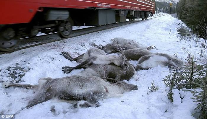 挪威北部100多头驯鹿在冬季迁徙期间遭货运列车辗毙
