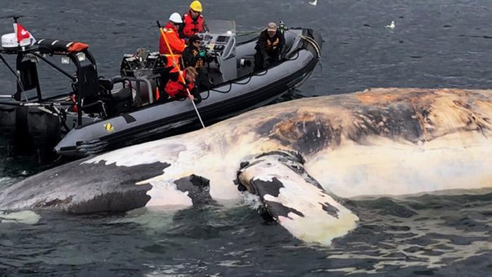 北大西洋露脊鲸全球仅剩450头 今年就有17头死亡
