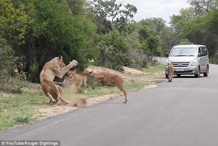 南非克鲁格国家公园小鹿过马路不合时 跳入狮口沦为大餐