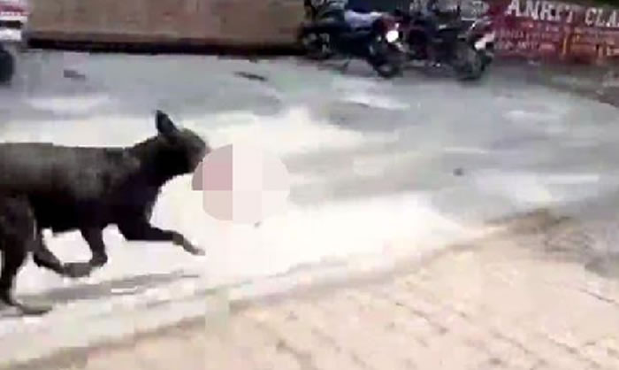 印度中央邦初生婴遭流浪狗叼走 用来喂幼崽