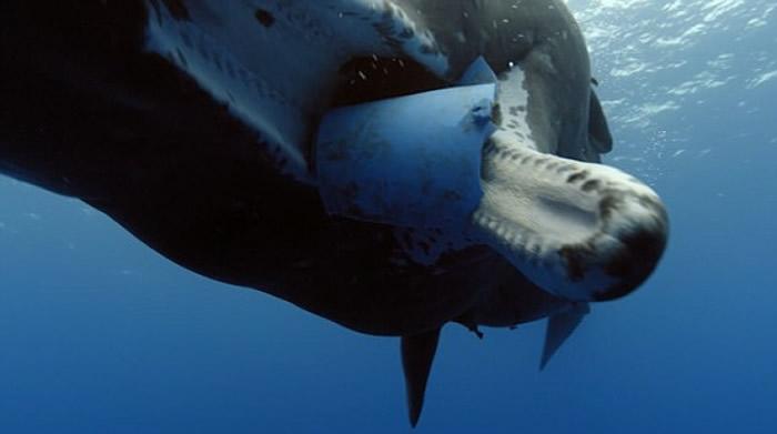 胶片堵塞在抹香鲸的口部。