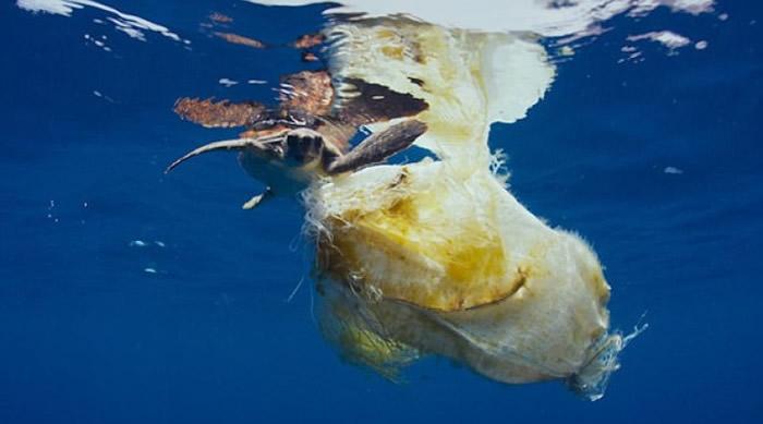 海龟被一大团塑胶废料缠绕