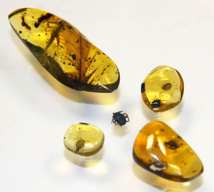 缅甸9900万年前白垩纪琥珀化石中发现蜱虫 可能吸满恐龙血液