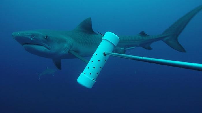 科科岛水域已经有30年没有看见鼬鲨(虎鲨)的踪迹了,但是在2012年又再度出现鼬鲨的身影。