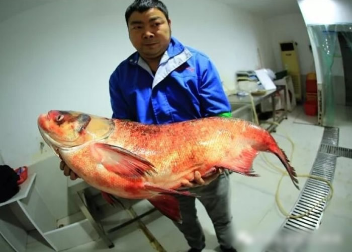 捕鱼公司负责人抱起该条重达32.5公斤的野生鳙鱼。