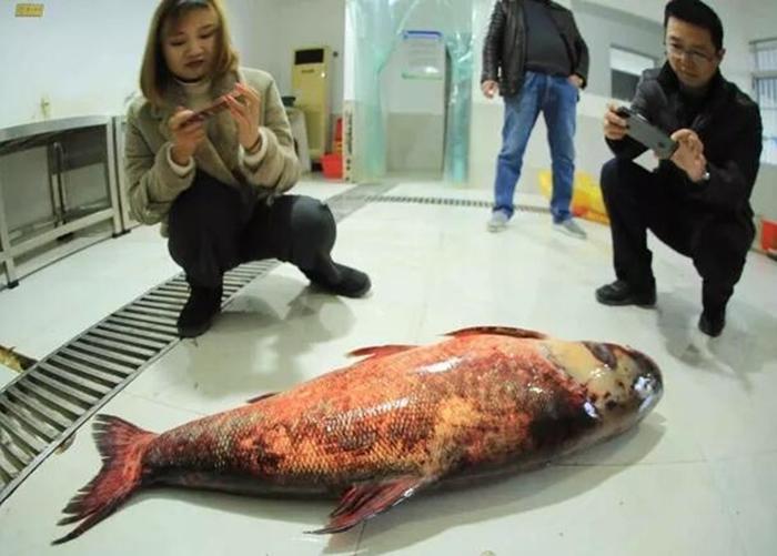 民众围着该条巨型鳙鱼拍照。