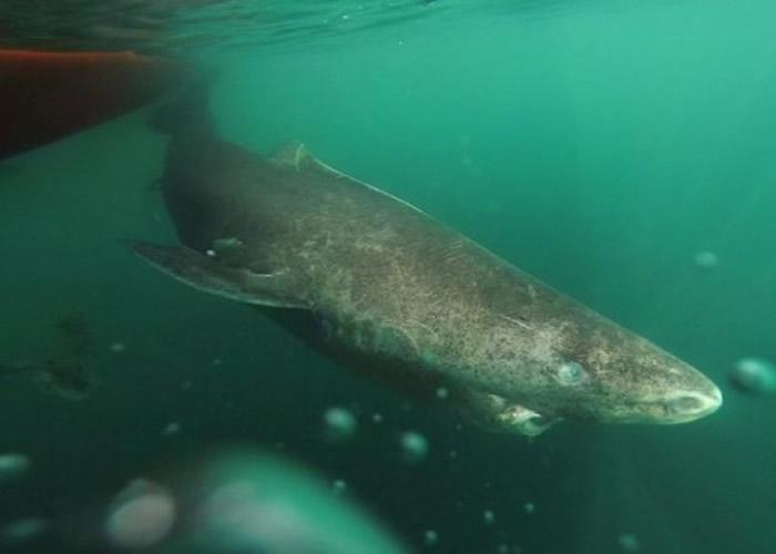 格陵兰鲨又名小头睡鲨。