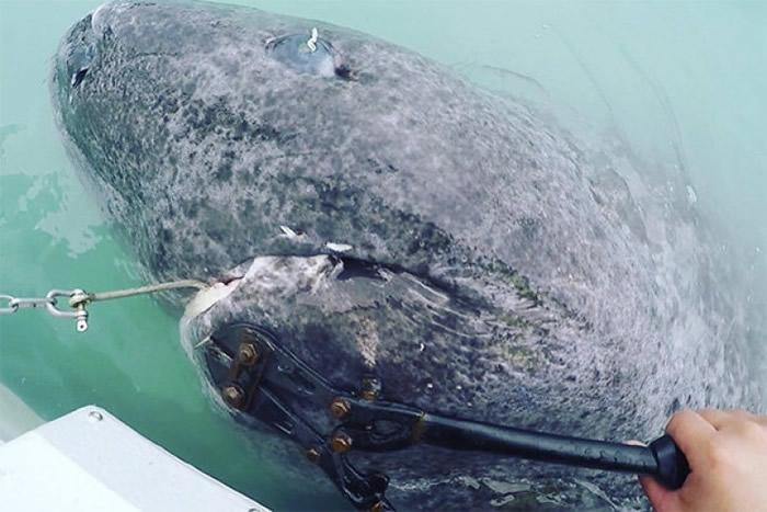 格陵兰鲨是地球上已知最长寿的脊椎物种。