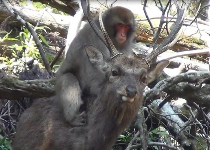 研究人员观察到箕面市的野生雌猴骑在雄鹿背上磨下体。