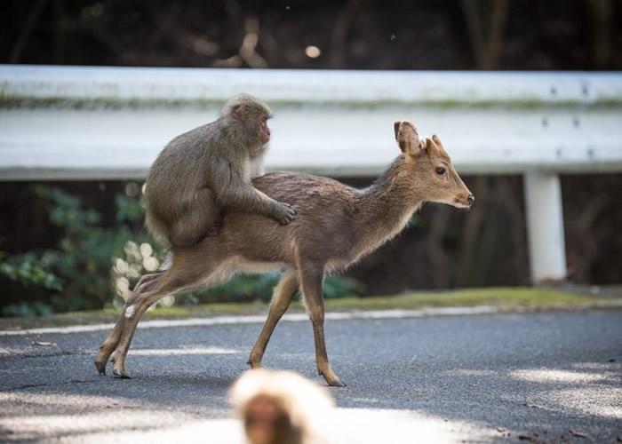 有动物学家曾拍摄到雄性猕猴骑在雌性梅花鹿背上做出交配动作。