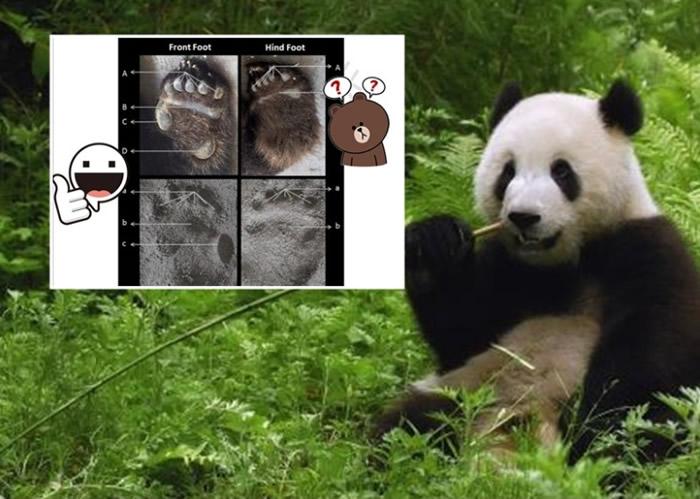 """""""足迹识别法""""鉴别大熊猫体征准确率达九成。"""