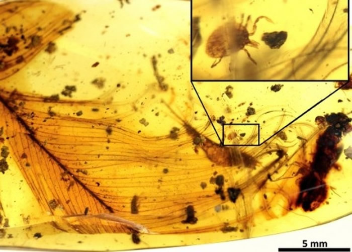 专家在缅甸产琥珀中发现蜱虫寄生在恐龙。