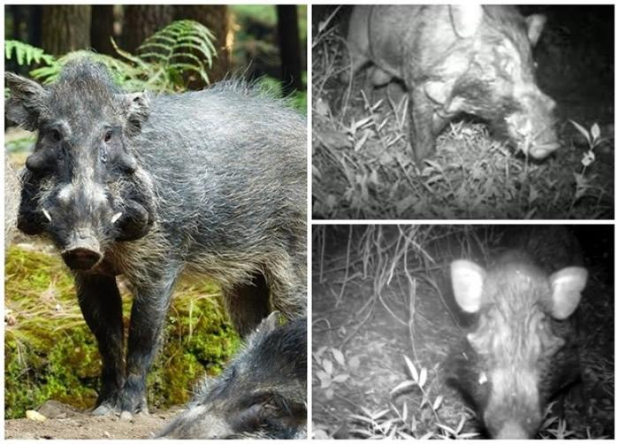 研究人员拍摄到爪哇疣猪踪影(右上下图)。